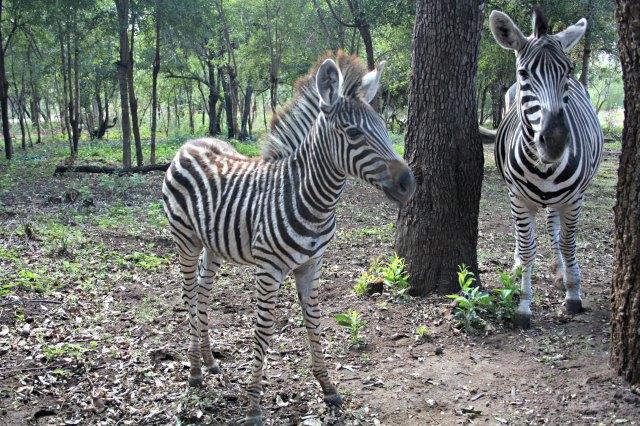 Freilaufende Zebras im Marloth Park