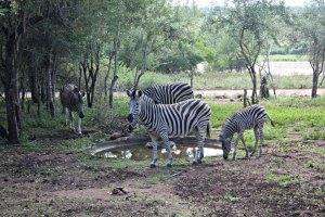 Zebras am Wasserloch der Lodge