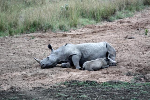 Mutter und Baby Rhino