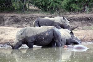 Naughty Hippo