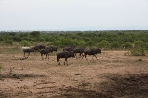 Gnus - Wildebeests